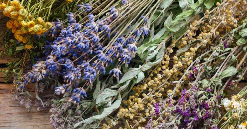 Description des plantes - Alchimiste en herbe